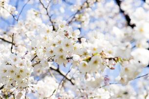 桜の写真素材 [FYI04627039]