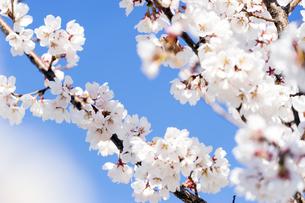 桜と青空の写真素材 [FYI04627041]
