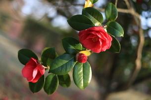 鮮やかな牡丹の花の写真素材 [FYI04627149]