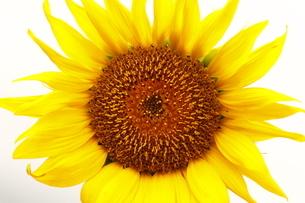 太陽に向かって咲くひまわりの写真素材 [FYI04627216]