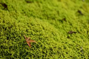 苔の写真素材 [FYI04627317]