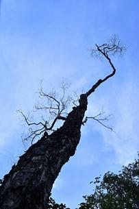 青空に向かいそびえ立つ木の写真素材 [FYI04627362]