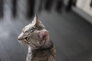 振り返る猫の写真素材 [FYI04627704]