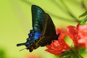 ミヤマカラスアゲハの写真素材 [FYI04627709]