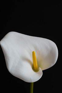 黒背景の白いオランダカイウの写真素材 [FYI04627772]