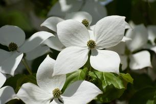 満開の白いヤマボウシの花の写真素材 [FYI04627774]