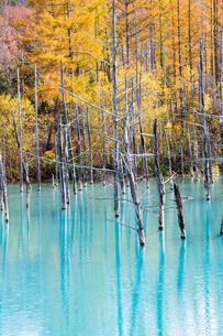 秋の黄葉のカラマツ林と青い池 美瑛町の写真素材 [FYI04627777]
