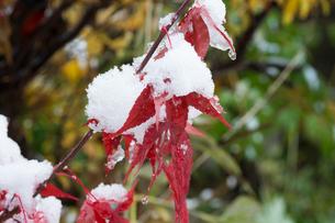 雪をかぶった赤いモミジの葉の写真素材 [FYI04627790]
