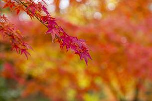 京都二条城 旧石垣側に広がる紅葉の写真素材 [FYI04627807]