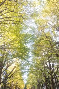 イチョウ並木 の写真素材 [FYI04628270]