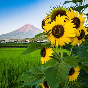 富士山の写真素材 [FYI04628340]