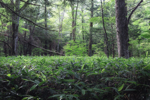 上高地 森林の写真素材 [FYI04628522]