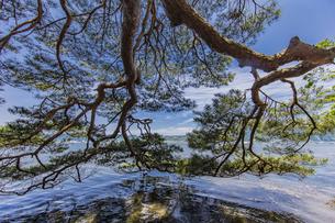 海面まで枝を伸ばす天橋立の松並木の写真素材 [FYI04628551]