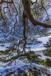 海面まで枝を伸ばす天橋立の松並木の写真素材 [FYI04628553]