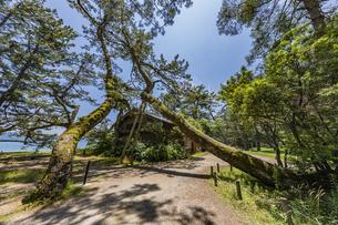 天橋立中腹の空き家と傾く大木の写真素材 [FYI04628566]