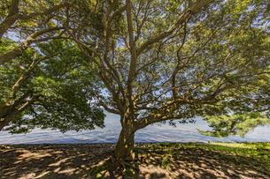 天橋立 松並木と木漏れ日の写真素材 [FYI04628571]