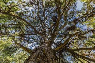 天橋立 無数に枝を張る松の巨木の写真素材 [FYI04628577]