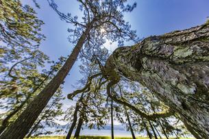 天橋立 快晴の空と松並木の写真素材 [FYI04628578]