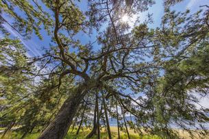 天橋立 快晴の空と松並木の写真素材 [FYI04628590]