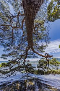 海面まで枝を伸ばす天橋立の松並木の写真素材 [FYI04628594]