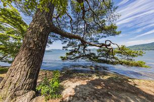 海面まで枝を伸ばす天橋立の松並木の写真素材 [FYI04628595]