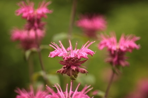 蜜源植物のタイマツ花の写真素材 [FYI04628599]