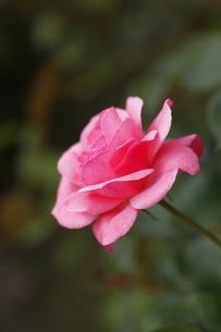7月の薔薇の写真素材 [FYI04628613]