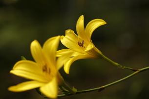 鮮やかなユウスゲの写真素材 [FYI04628615]