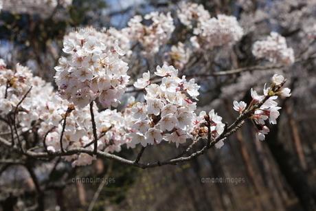 満開の桜たちの写真素材 [FYI04628616]