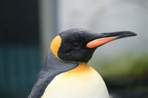 ペンギンの写真素材 [FYI04628688]