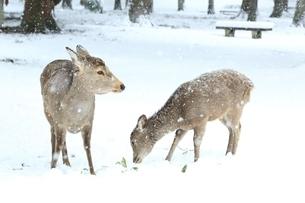 奈良公園のシカと雪景色の写真素材 [FYI04628808]