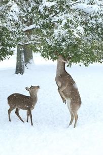 奈良公園のシカと雪景色の写真素材 [FYI04628809]