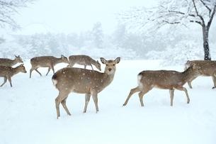 奈良公園のシカと雪景色の写真素材 [FYI04628810]