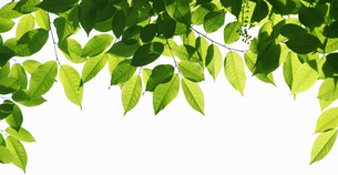 緑の木の葉の写真素材 [FYI04629059]