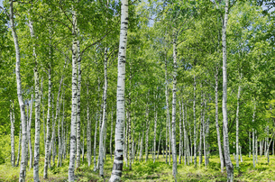 初夏の白樺林の写真素材 [FYI04629061]