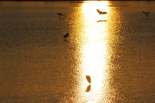 光る水面と水鳥の写真素材 [FYI04629125]