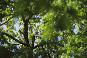 フクロウの子供の写真素材 [FYI04629133]