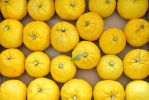 ゆず 柚子 たくさんの写真素材 [FYI04629202]