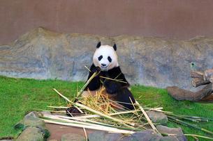 パンダの写真素材 [FYI04629406]