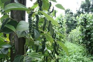 アマゾン地域で栽培されているコショウの写真素材 [FYI04629481]