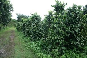 アマゾン地域で栽培されているコショウの写真素材 [FYI04629482]