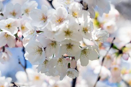 桜の写真素材 [FYI04629807]