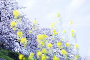 桜並木と菜の花の写真素材 [FYI04629836]