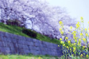 桜並木と菜の花の写真素材 [FYI04629837]