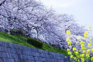 桜並木と菜の花の写真素材 [FYI04629838]