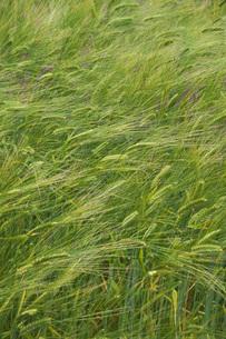 ファーム富田 ビール大麦の写真素材 [FYI04630081]