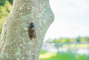 木にとまったセミの写真素材 [FYI04630305]