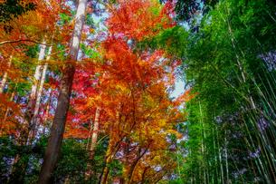 紅葉シーズンの京都嵯峨野「竹林の小径」 竹や杉木立の緑と紅葉の赤がカラフルの写真素材 [FYI04630729]