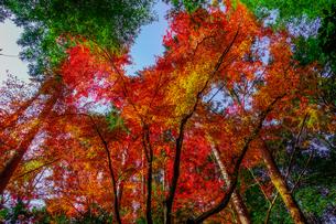 紅葉シーズンの京都嵯峨野「竹林の小径」 竹や杉木立の緑と紅葉の赤がカラフルの写真素材 [FYI04630733]
