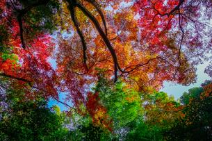 紅葉シーズンの京都嵯峨野「竹林の小径」 竹や杉木立の緑と紅葉の赤がカラフルの写真素材 [FYI04630738]